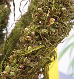 Hemp seeds on plant