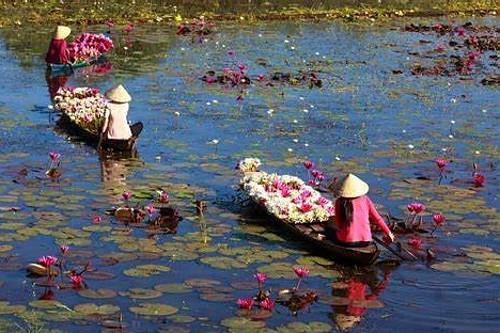 Lotus flower harvest