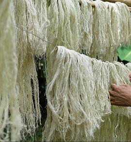 Pineapple fiber drying