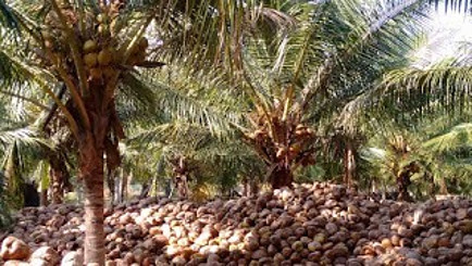 Coconut trees and husks