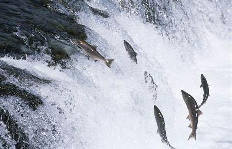 Fish skin leather - salmon run