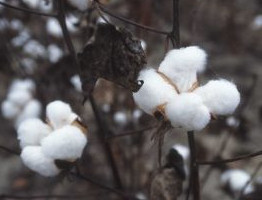 Cotton fiber ready to be harvested