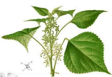 Ramie perennial plant