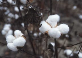 Natural fibers like cotton is on the list of fabric that can be sustainable