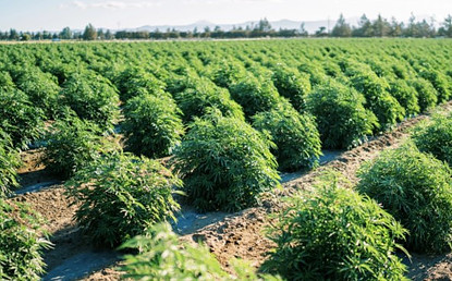 Mission Farms CBD hemp field for best CBD oil anxiety products